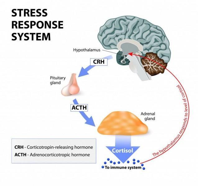 ストレスを感じて副腎がホルモンを作る仕組み|副腎疲労blog