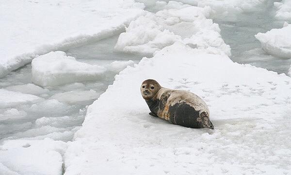 氷河の上に佇む1匹のアザラシ|副腎疲労blog