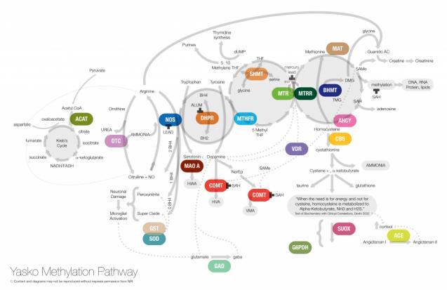 メチレーション経路図|副腎疲労blog
