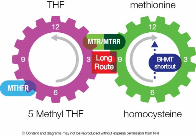 メチオニンと葉酸回路|副腎疲労blog
